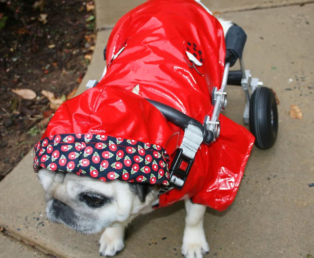 Little Pug Riding Hood