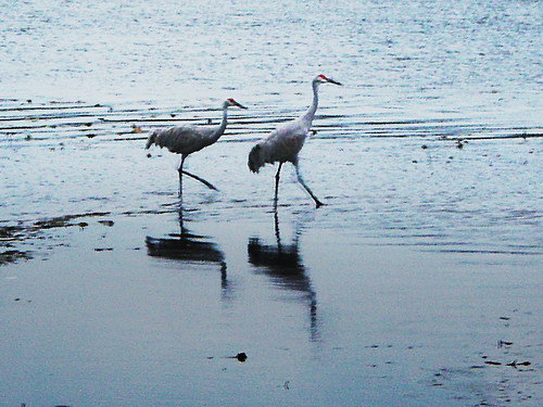 It's Twilight, and the Sandhill Cranes Are Going for their Evening Walk
