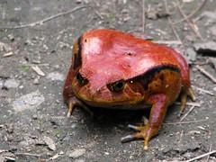 Dyscophus antongilii - Tomato frog (Linda DV) Tags: geotagged canon madagascar mandraka madagascarexotic réservedepeyrieras microhylidaeamphibian frog tomatofrog iucnredlist nearthreatened lindadevolder powershots5is 2009 africa amphibia