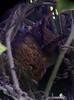 Megascops watsoniiSacha (barbetboy) Tags: megascops fbwnewbird fbwadded tawnybelliedscreechowl megascopswatsonii