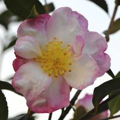 Camellia sasanqua (paolo-55) Tags: macro nikon camelliasasanqua 105mmvrmicronikkor d700 flowersarebeautiful