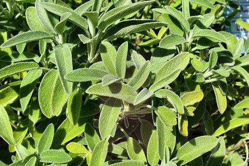 Salvia officinalis (rq) - 01