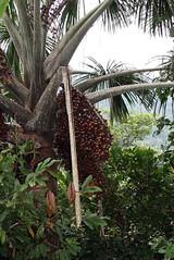 Mauritia flexuosa (Arecaceae)