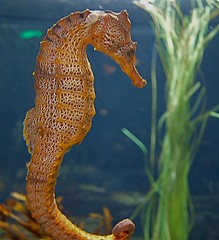 Seahorse at Monterey Bay Aquarium (ShirleyRC) Tags: art aquarium bay monterey montereybayaquarium fair sausalito seahorses whimsey