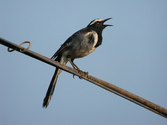 White-browed Wagtail Motacilla madaraspatensis (tristanba) Tags: india goa digiscoping whitebrowedwagtail motacillamadaraspatensis