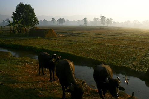 La plaine du Térai au petit matin
