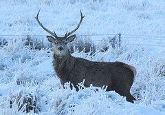 Highland Stag (Ally.Kemp) Tags: scotland stag wildlife scottish deer highland elphin