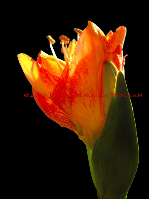 An amaryllis bud in flaming colors of red, orange and yellow emerges into the spring light.