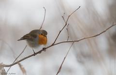 Roodborst, European Robin (Paul van Agthoven) Tags: bird robin inexplore explore holland birding zoom canon100400 canonllens 70d