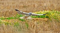 IMG_1248a (berserker170) Tags: aguiluchopalido naturaleza nature bird ave rapaz eos 7d 150500 sigma canon mohedaalta extremadura españa spain winter invierno flickrexploreme