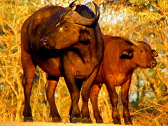 Conversations with Bufalloes (Jacques S G) Tags: africa travel wild nature southafrica wildlife safari mammals bovine krugernationalpark bufallo specanimal synceruscaffra