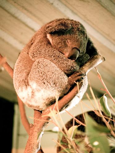 a koala sleeping