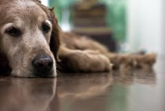 heya buddy (bex finch) Tags: dog jack oldman pup f28 dogdayafternoon lazysundayswithjackandrickygervaisstandup ilovedgettingdowntofloorlevelandtalkingwithmygoldenretriever