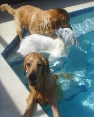 CPS Pool 2 (PolothePup) Tags: dogs pool swim goldenretriever greatpyrenees