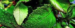 20090609 Berlin Blätter Rose (j.ardin) Tags: berlin green leaves rose waterdrop grün blätter wassertropfen dropofwater