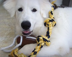 New Toys 7 (PolothePup) Tags: dog puppy great polo pyrenees greatpyrenees