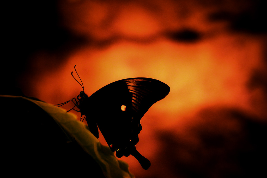Fiery Butterfly