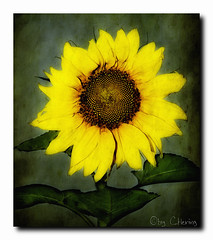 sunflower (claudia hering (sundance)) Tags: green yellow sunflower textured great123