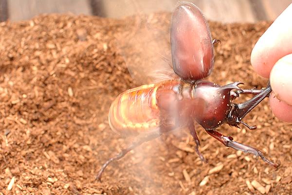 羽根を広げるカブトムシ