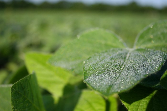 08-10-soybeans2