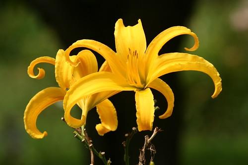 daylily 'Carolicolassal'