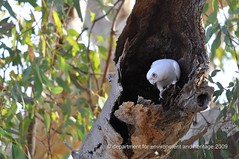 © DEH - coongie - corella in nesting hollow (liam.jon_d) Tags: billdoyle south australia australian professional deh department environmentandheritage copyright folio cv state government corella hollow nestinghollow redgum gum coongie coongielakes np nationalpark bird white dept visitormanagementbranch vmb nest cacatua sanguinea cacatuasanguinea denr allrightsreserved top50 southaustralia sa southaustralian 100 pickmeset popularimset