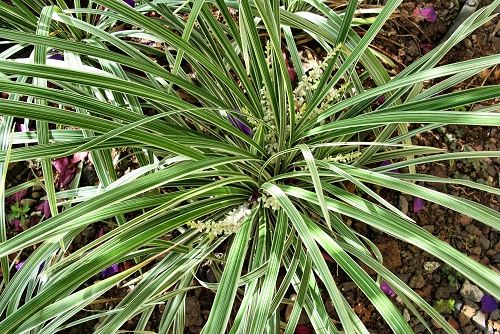 Ophiopogon jaburan 'Vittatus' (rq) - 01