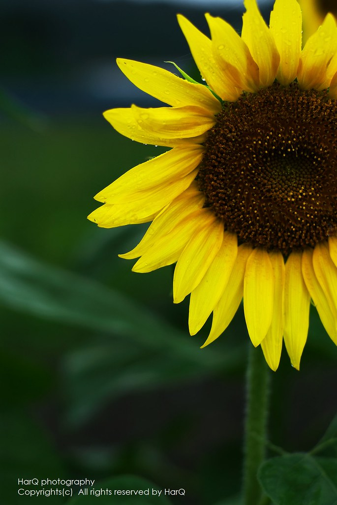 a Sunflower of Rainy day
