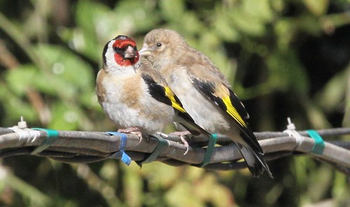 Adult and Young Goldfinches
