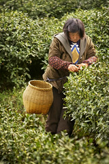 "Green Tea Picker - China #6 of 7 (IronRodArt - Royce Bair (""Star Shooter"")) Tags: china plants green healthy bush tea farm farming harvest rows plantation hangzhou organic camellia agriculture greentea bushes herb herbal picking harvesting picker sinensis"