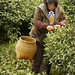 Green Tea Picker - China #6 of 6