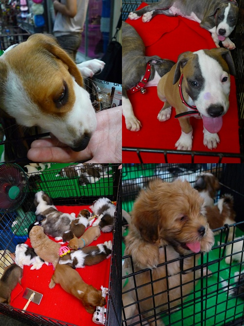 Chatuchak Puppies for Sale
