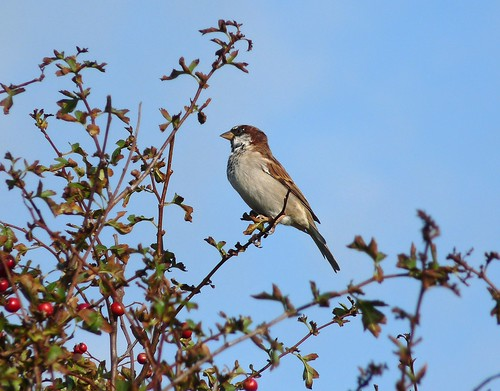 11477 - House Sparrow at Strumble Head