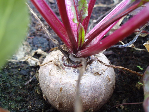 Hello Beetroot!