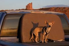 Navajo Chihuahua (jfew) Tags: sunset arizona dog chihuahua southwest desert az northernarizona monumentvalley monumentvalleynavajotribalpark navajonation bigindian ef100400mmf4556lisusm bigindianbutte