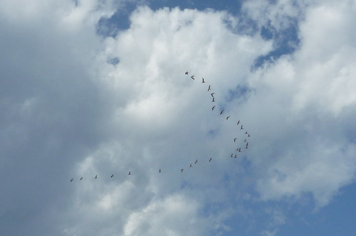 migrating geese above Long Branch beach in Fall