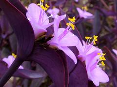 Purple Wandering Jew (JackieG...) Tags: utata utata:project=tw182