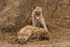 Laughing Hyena, South Africa (*amy&kimball) Tags: laughing mouth southafrica african teeth yawn safari laugh spotted fangs camoflauge hyena kruger laughinghyena knp spottedhyena