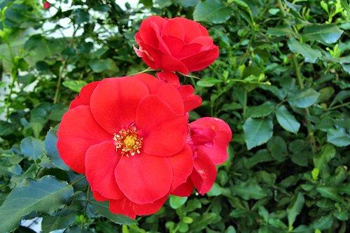 Rosa 'Sanguinea' (rq) - 02