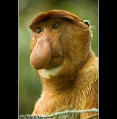 Male Proboscis Monkey - Bako National Park / Borneo Island - Sarawak in Malaysia - South East Asia (Lucie et Philippe) Tags: voyage park trip travel wild portrait cute nature ecology face animal animals forest mammal nose monkey mono photo big eyes rainforest funny asia image wildlife picture yeux national jungle sarawak malaysia borneo tropical asie endangered animaux nez primate philippe gros protect proboscis regard cyrano singe mammifre malaisie  langel nasique nasalis larvatus uicn a2cd