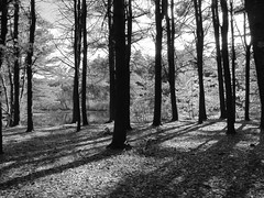 great brook state forest (helium heels) Tags: autumn trees blackandwhite white black fall leaves forest october massachusetts foliage carlisle bnw stateforest carlislema greatbrookstateforest