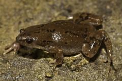 Western Narrow-mouthed Toad (Gastrophryne olivacea) (aliceinwl1) Tags: az amphibia amphibian anura arizona arizona2006 arizona2008 chordata gastrophryne gastrophryneolivacea greatplainsnarrowmouthtoad microhylidae santacruzcounty herp locnoone narrowmouthtoad olivacea viseveryone