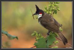 IMG_4047.jpg (AnilkumarGT) Tags: india birds bulbul