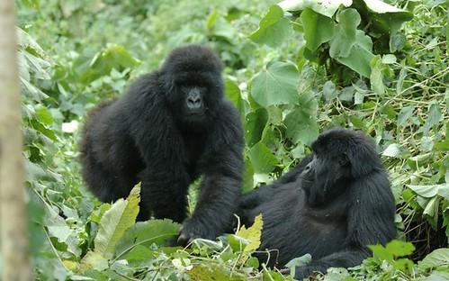Gorilles IGCP