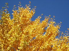 Yellow gingko, blue sky (M lambie) Tags: blue autumn trees fallleaves chicago fall leaves yellow catchycolors autumnleaves urbannature gingko ravenswood