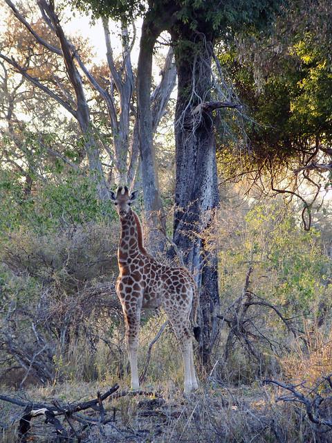 DSC09031 Baby Giraffe