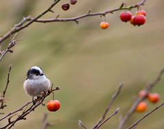 Long tailed tit     (3 of 3) (Richard Bradshaw1) Tags: ngc npc songbird crabapple longtailedtit downinone christmasbauble lookmateitsmeoryou