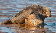Seal Mating Behaviour 5 (Pixelda) Tags: seals donnanook pixelda