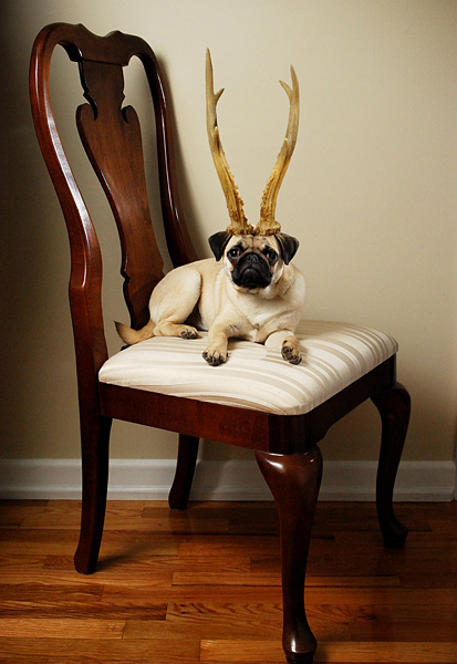 Sophie the pug-nosed reindeer