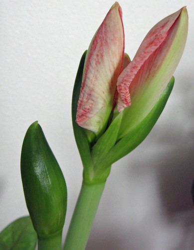 Amaryllis about to Bloom